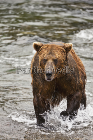 brown bear ursus arctos male in