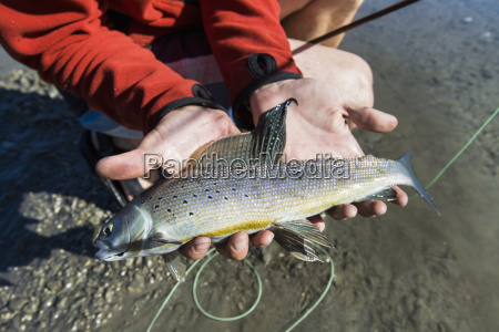 a fresh grayling fish caught by