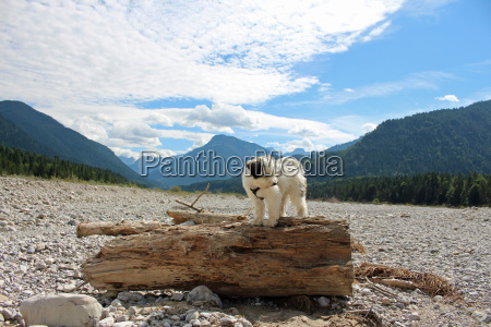 tibetan terrier puppy