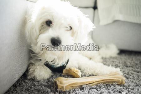 portrait of maltese dog lying on