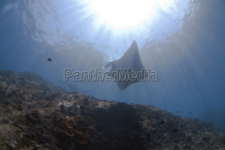 indonesia bali nusa lembongan reef manta