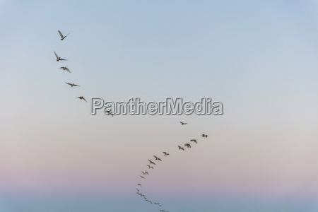 south, africa, , cape, town, , flock, of - 23687966