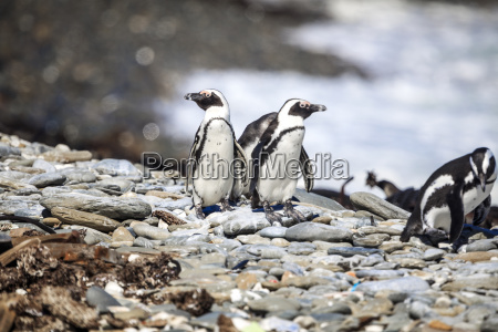 south, africa, , cape, town, , robben, island, - 23687968