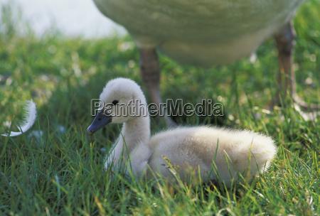 animal bird animals swan birds soft