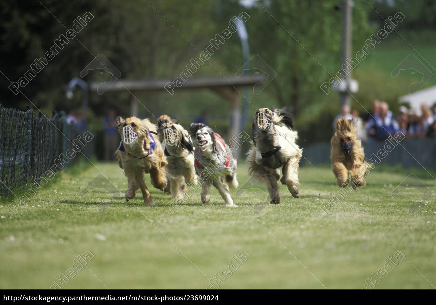 greyhound, racing - 23699024