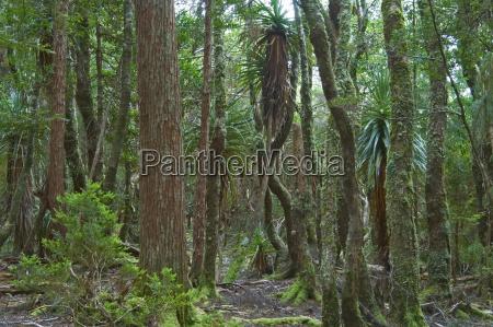 rainforest at dove lake in cradle