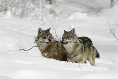 fight fighting winter animal mammal teeth
