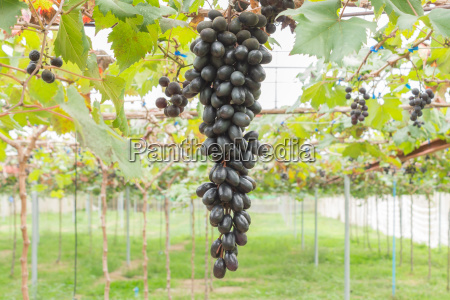 black grapes in grape garden or
