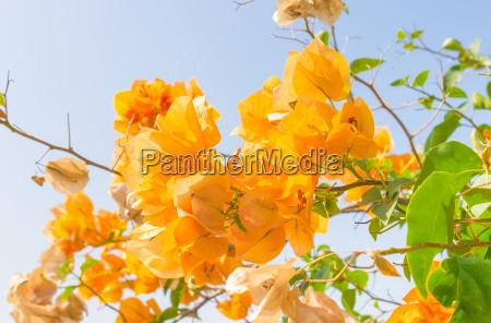 yellow bougainvillea flower on blue sky
