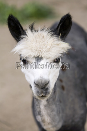 animal mammal animals wool hairdo portrait