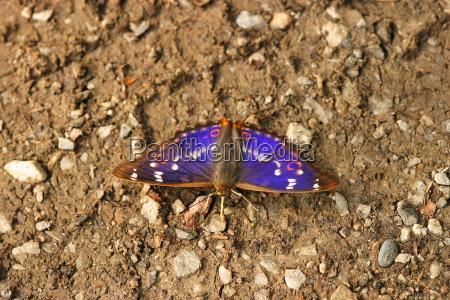 small schiller butterfly apatura ilia blue
