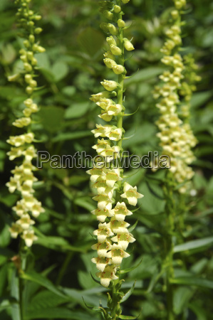 small blooded or yellow digitalis lutea