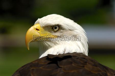 bald eagle haliaeetus leucocephalus heraldic bird