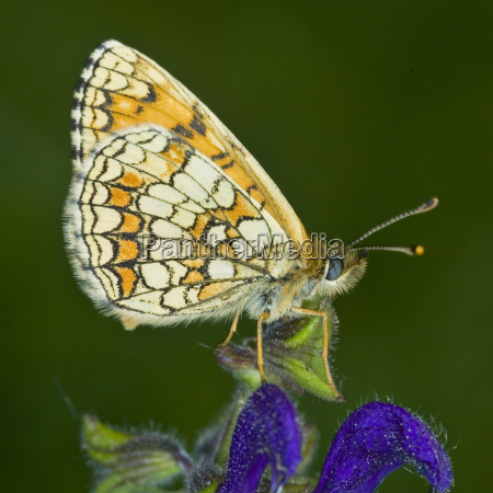 eastern fritillary butterfly mellicta britomartis