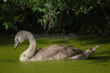 young swan cygnus olor in a