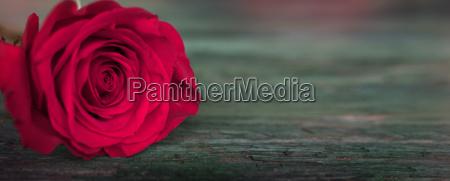 dark red rose on green old