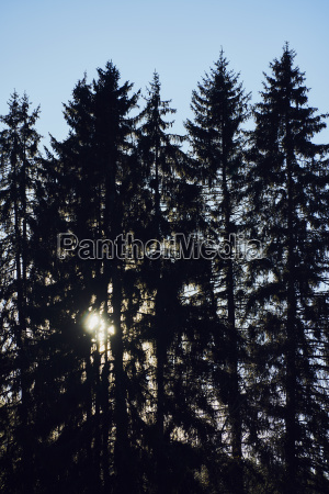 fir forest backlight