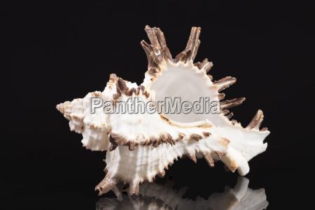 sea shell of predatory sea snail