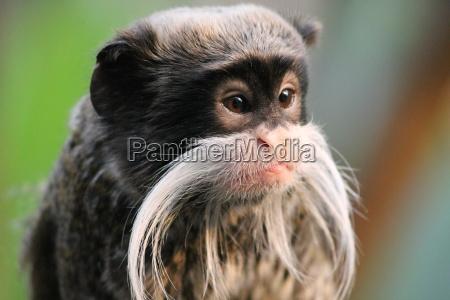 emperor tamarin monkey on branch white