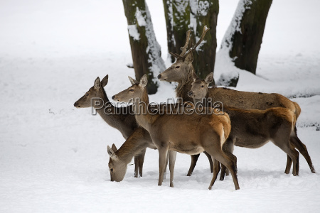 red deer with family in the