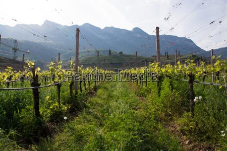 wine on lake caldaro south tyrol