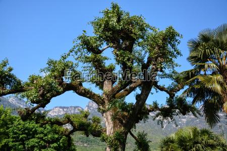 tree on lake caldaro south tyrol