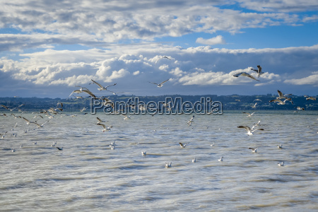 seagulls on rotorua lake new