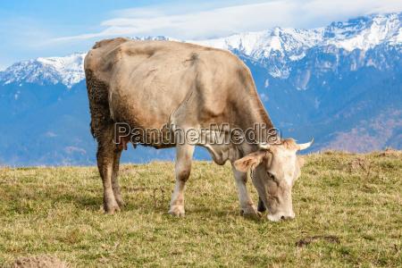 pestera brasov romania free cow grazing