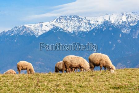 pestera brasov romania free sheep grazing