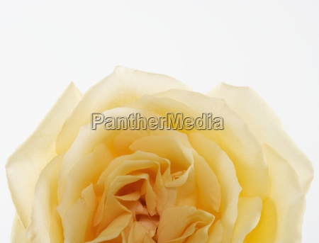 overhead view of a yellow rose