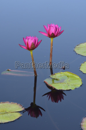 pink lily flowers in pond