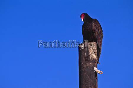 mexico turkey vulture perching on pole