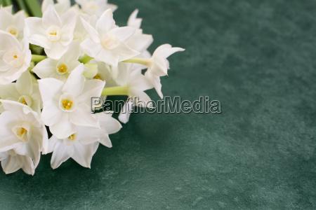 white narcissus flowers on mottled green