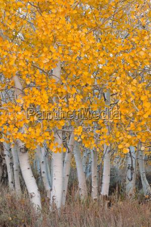 usa california aspen tree trunks
