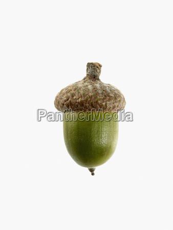 studio shot of acorn