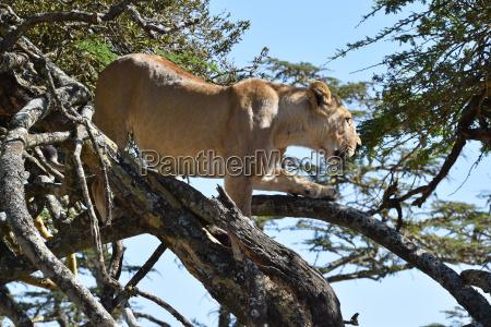 lion on a tree in kenya