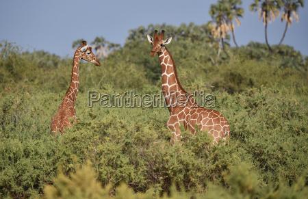 giraffes in kenis