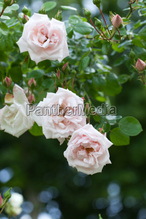 pink rose on the branch