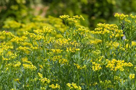 blooming ruta graveolens in garden