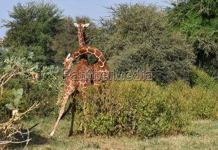 giraffes fight