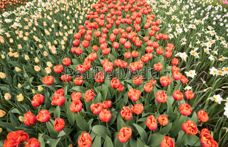 colorful tulips and daffodils blooming