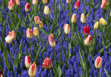 colorful tulips and grape hyacinth blooming