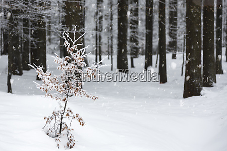 spruce forest in winter with snow