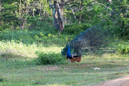 male peacock of green background feathers