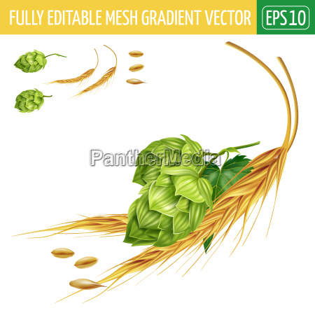 hops and malt on white background