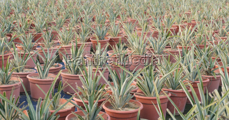 potted pineapple farm