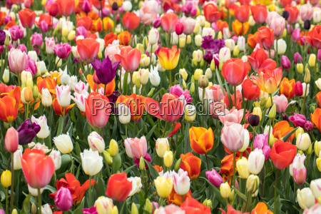 colorful flowers in the keukenhof garden