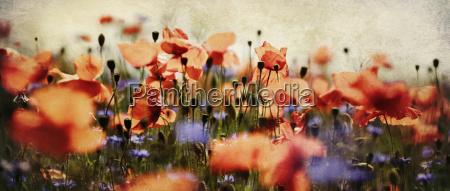 poppy and cornflowers panorama nostalgic