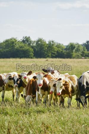 animal channel cow herd fresh water