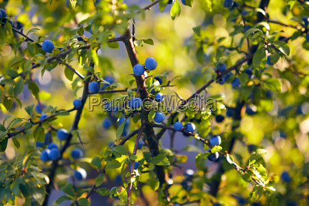 sloe berry leaf branch nature